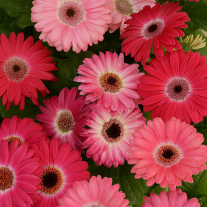Gerbera Revolution Bicolor Rose Shades