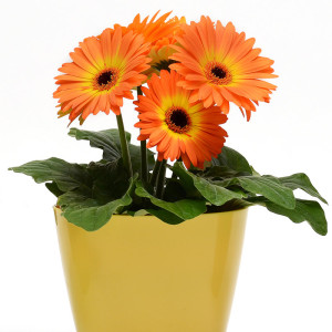 Gerbera Revolution Bicolor Yellow Orange