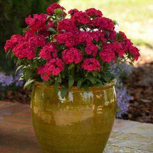 Pink Jolt Dianthus